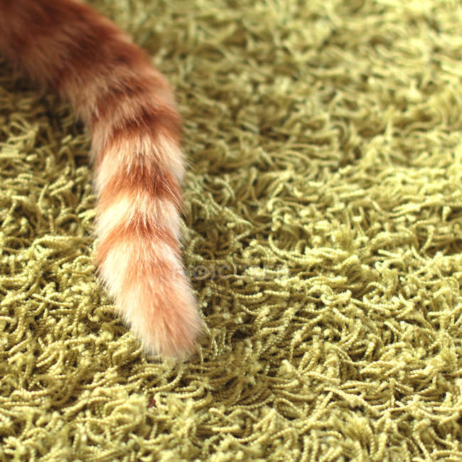 Ginger cat tail — Stock Photo