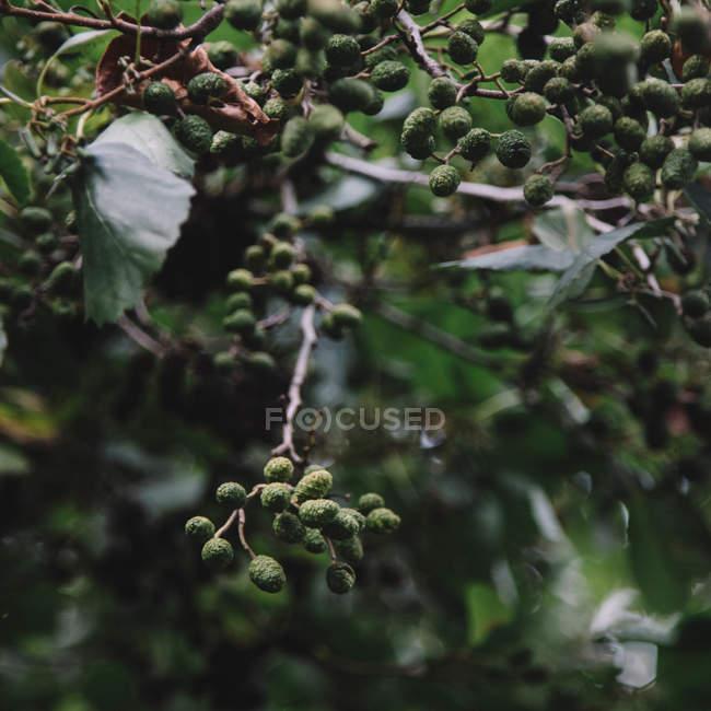 Ольха деревьев ветви — стоковое фото