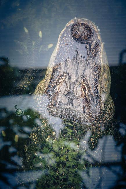 Рептилия животных, крокодил головы под водой — стоковое фото