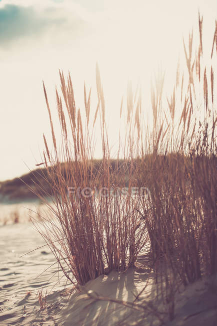 Grama do MARRAM na areia da praia, do sol fruits em bakground — Fotografia de Stock