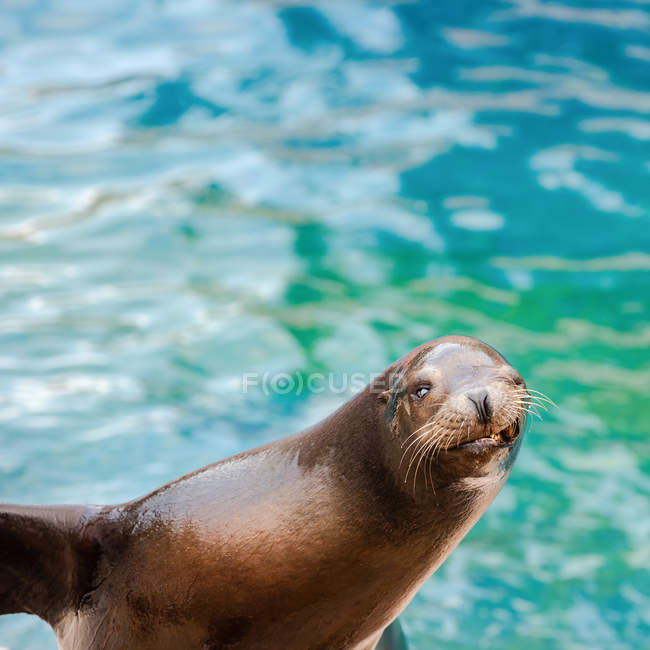 Close-up view of sea lion with funnt facial expression — Stock Photo