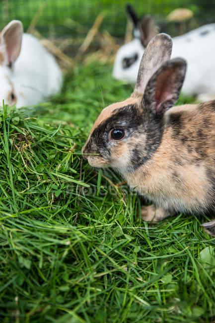 Просмотр домашних кроликов, едят траву на ферме — стоковое фото