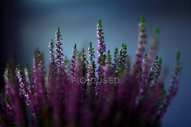 Closeup view of blooming herbs growing outdoors — Stock Photo