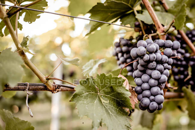 Grapes bunches on vine — Stock Photo