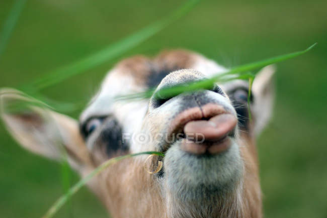 Close-up view of goat eating grass — Stock Photo