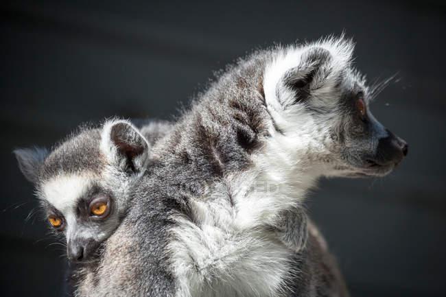 Vista de lémur com animal bebê nas costas — Fotografia de Stock