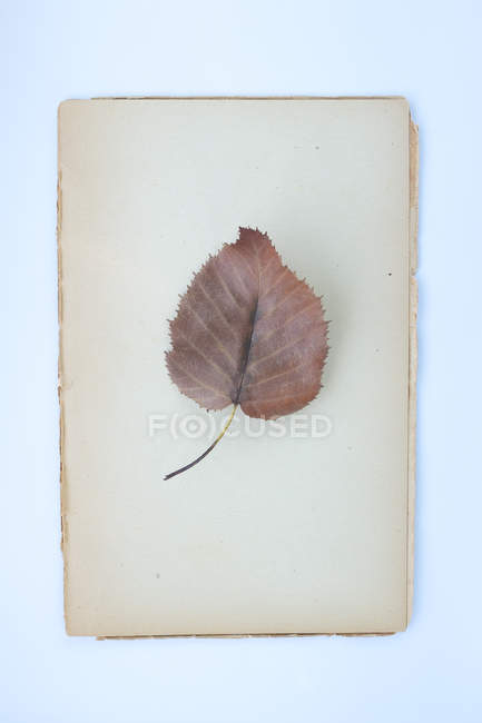 Plant leaf for herbarium — Stock Photo
