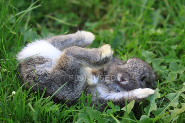 Mignon lapin couché sur l'herbe — Photo de stock