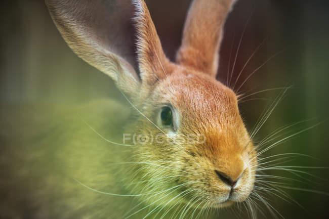 Крупным планом вид коричневый кролик — стоковое фото