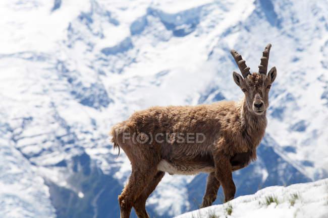 Malerische Aussicht auf Steinböcke in verschneiten Bergen — Stockfoto