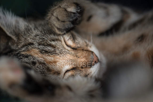 Cat sleeping with paws up — Stock Photo