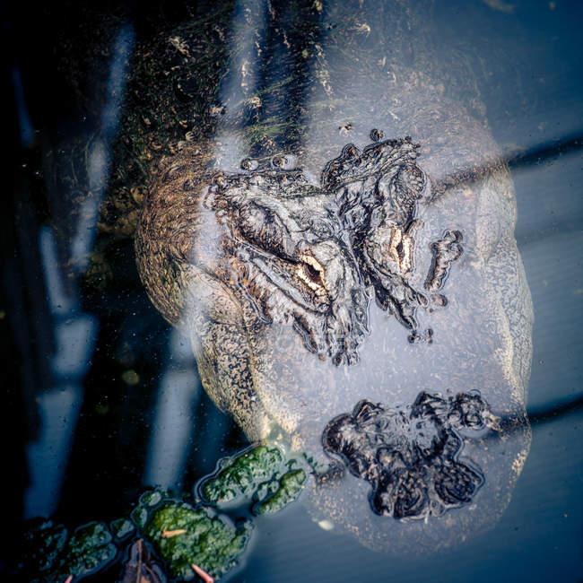 Голова животного, крокодил рептилий в воде озера — стоковое фото