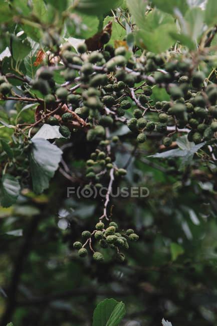 Grünen Beeren und Blätter auf Bush Zweige — Stockfoto