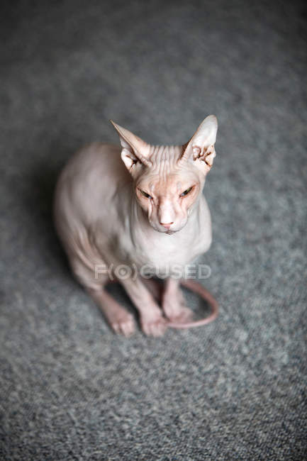Sphynx chat assis sur des tapis gris — Photo de stock