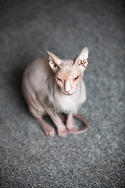 Sphynx Katze auf grauen Teppich — Stockfoto