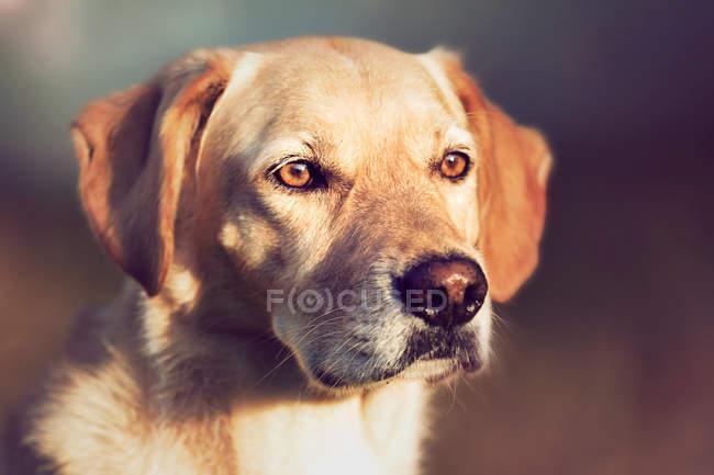 Ouro cão labrador, olhando de lado — Fotografia de Stock
