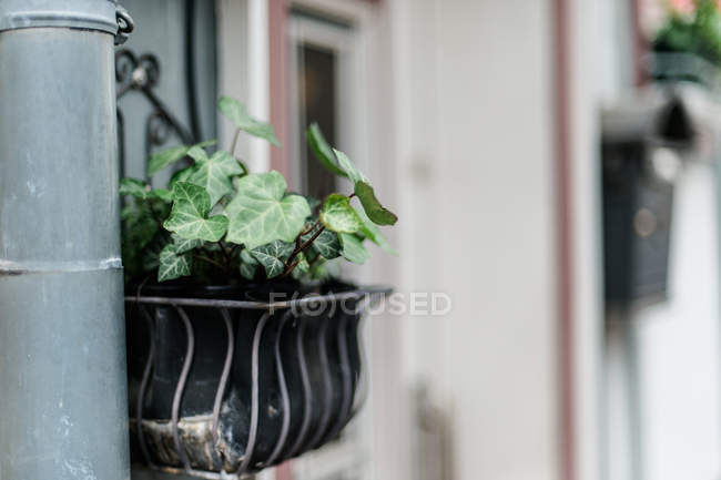 Growing houseplant in pot on windowsill — Stock Photo