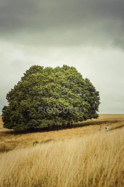 Großen grünen Baum im landwirtschaftlichen Bereich — Stockfoto