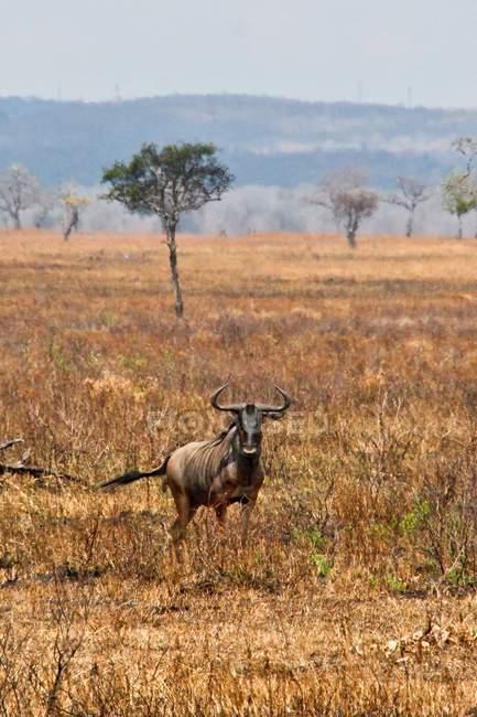 Wildebeest on african savannah meadow — Stock Photo
