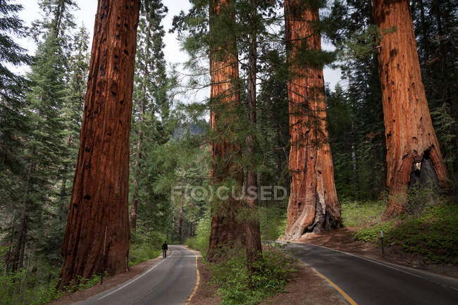 Traveler person walking on road in forest with sekvoia trees — Stock Photo