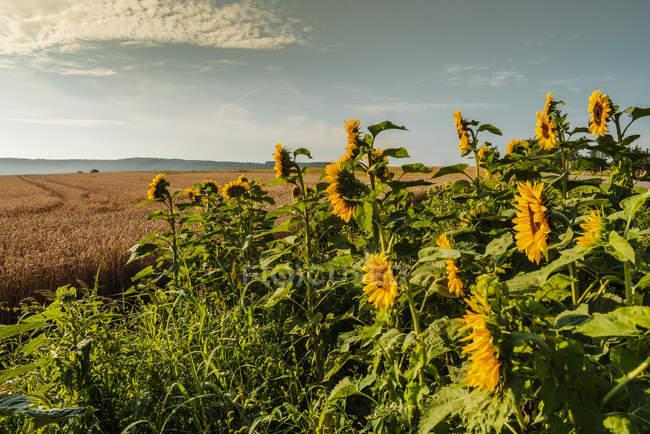 Paesaggio della natura con scenico girasoli campo vista — la ...
