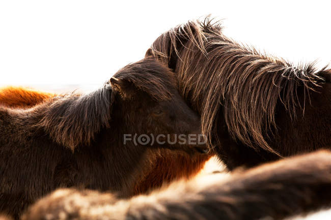 Iceland ponies, Icelandic horses — Stock Photo
