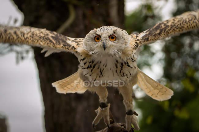 Обрезанное вид летающих сова — стоковое фото