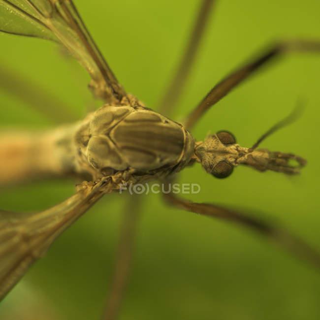 Closeup of mosquito, selective focus — Stock Photo
