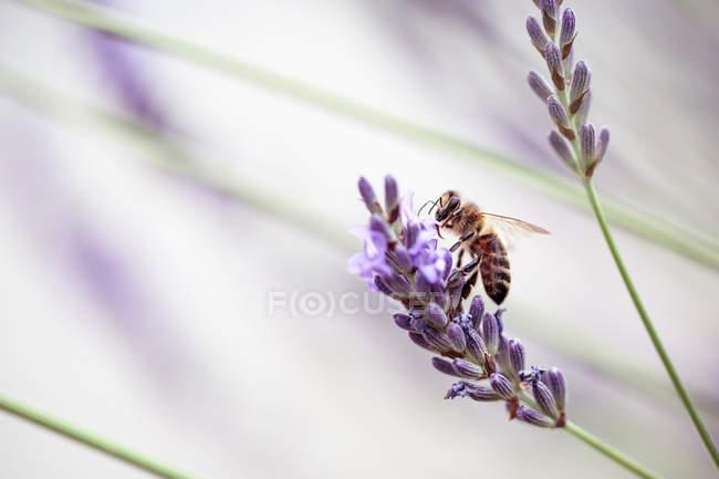 Bee collecting nectar and pollen - foto de stock