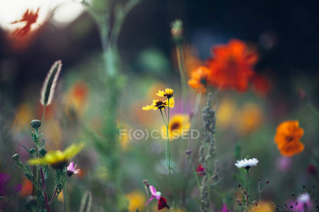 Closeup view of blossoming meadow flowers — Stock Photo
