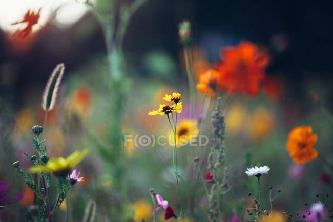 Closeup de exibição de flores desabrochando Prado — Fotografia de Stock