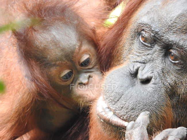 Dois orangotangos, animal de bebê com a mãe de orangotango — Fotografia de Stock