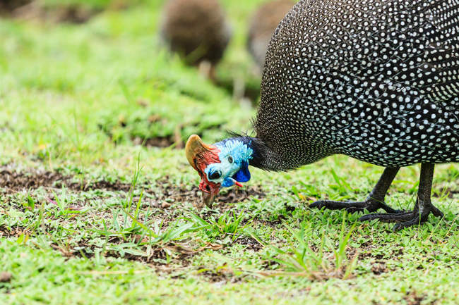 Close-up view of guinea fowl grazing on green meadow — Stock Photo