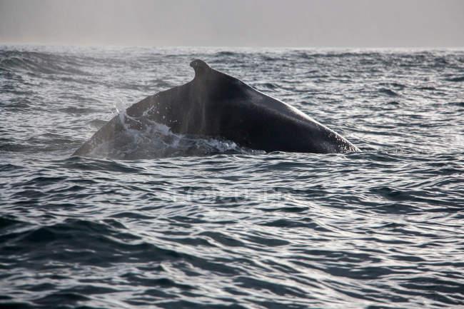 Wal-springen in Meerwasser in Island — Stockfoto