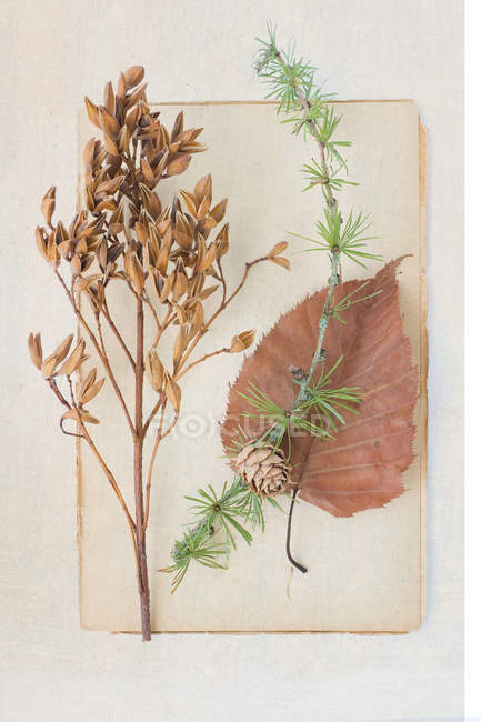 Plant leaves for herbarium — Stock Photo
