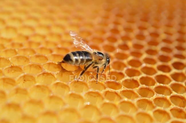Abeille à miel dans leur habitat naturel — Photo de stock