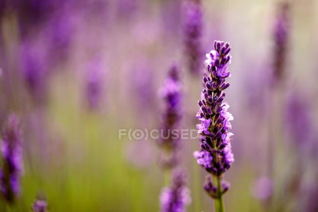 Розпускатися квітка саду лаванди — стокове фото