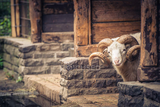 Cropped View Of Horned Sheep In Barn Stock Photo