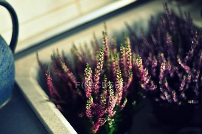 Wachsende Zimmerpflanze mit Blüte Blumen im Topf — Stockfoto