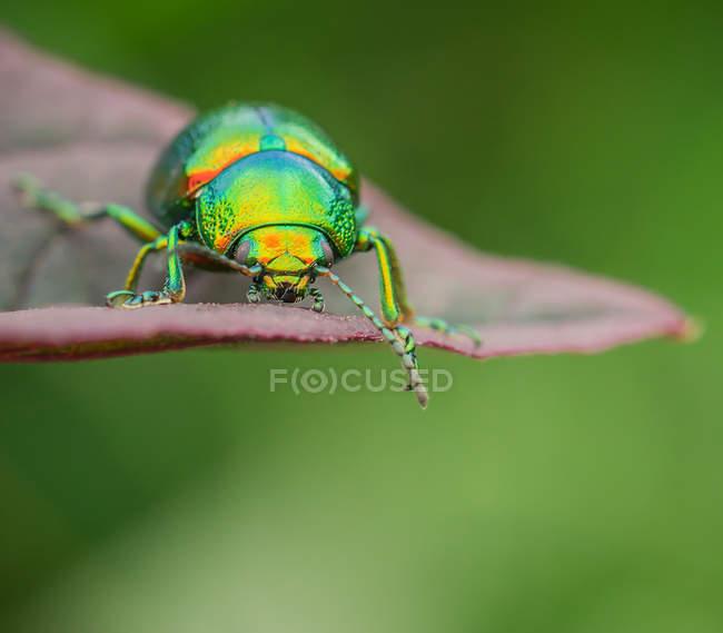 Coléoptère coloré sur une feuille — Photo de stock