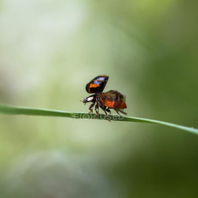 Petite coccinelle, Coccinella magnifica — Photo de stock