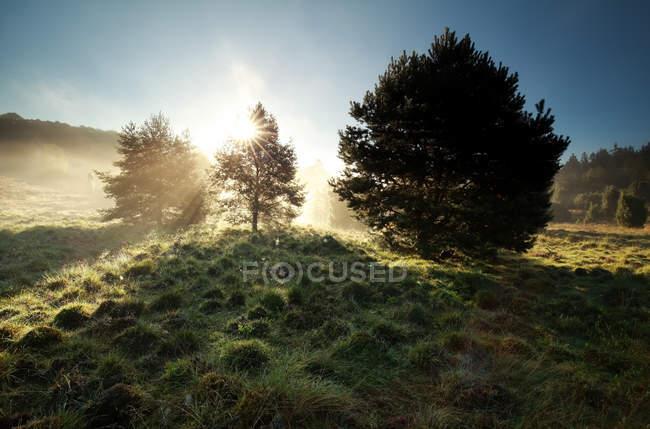 Raios solares através de pinheiros — Fotografia de Stock
