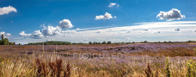 Skyline with flowering agricultural field — Stock Photo
