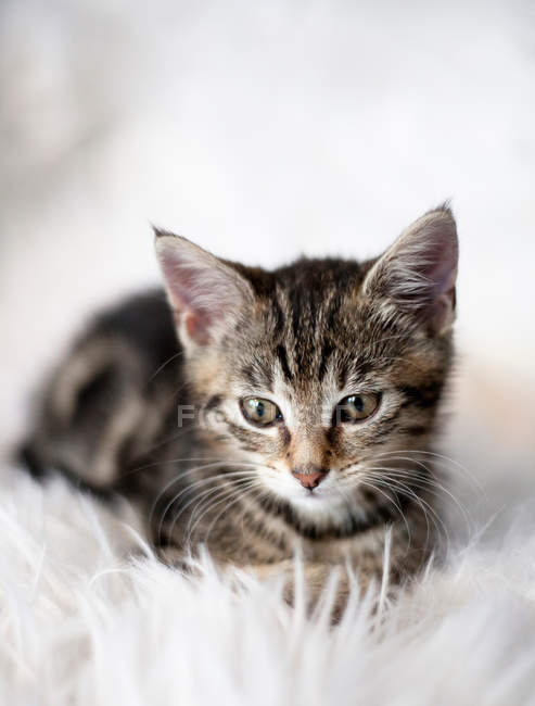 Kitten sitting on fuzzy blanket — Stock Photo