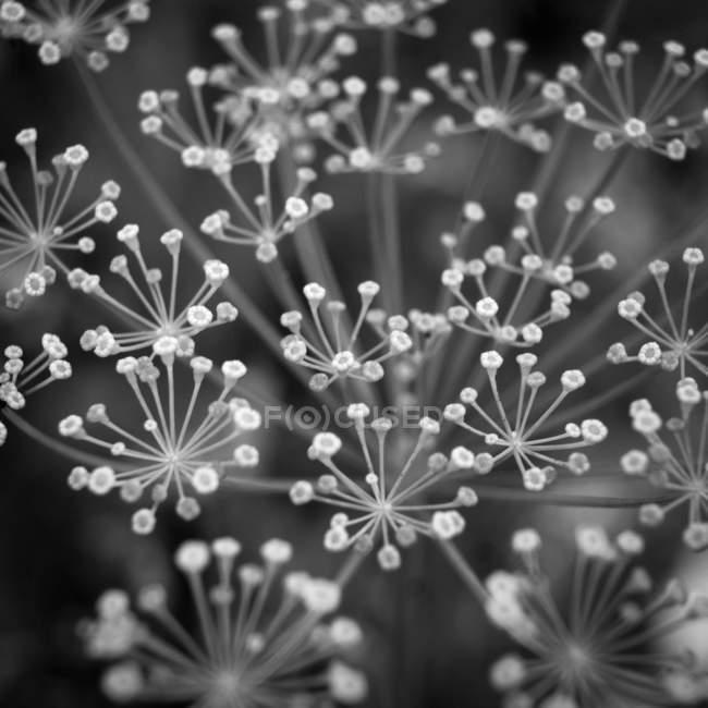 Planta de endro crescimento ao ar livre — Fotografia de Stock