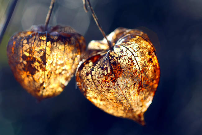 Closeup of physalis dried buds in sunlight — Stock Photo