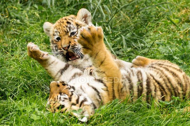 Тигр младенцев игры — стоковое фото
