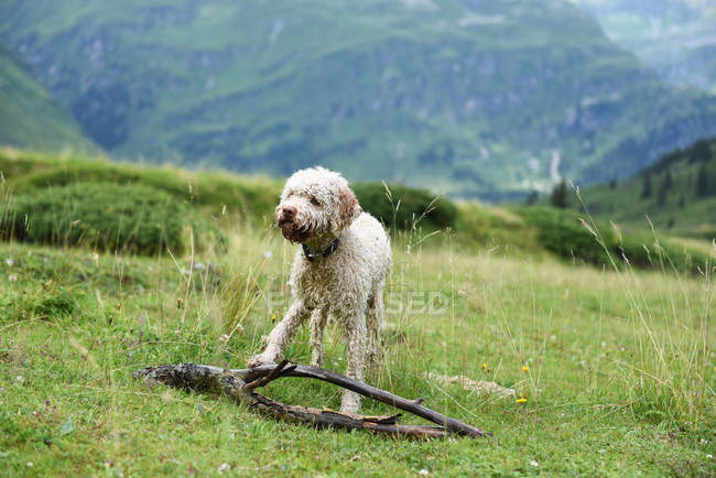 Front view of dog  playing in mountains meadow — Stock Photo