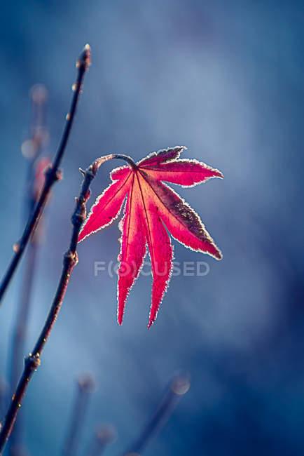 Primo piano della foglia di acero rossa sulla filiale di albero — Foto stock