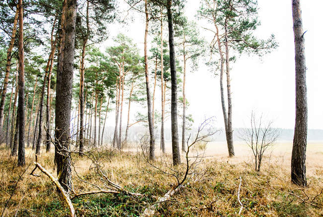 Cold weather in autumn forest with long trees — стоковое фото